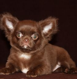 A chihuahua boy is a Cheburashka.
