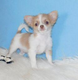 Μίνι με μακριά μαλλιά αγόρι Chihuahua