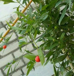 Tomatoes room