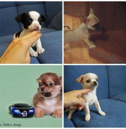Chihuahua este diferită
