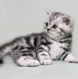 Pisici britanice