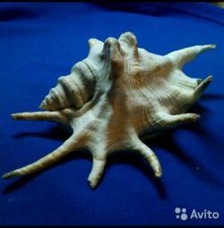 Филиппинская коллекционная ракушка