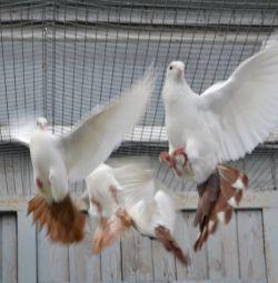 Batalii de porumbei