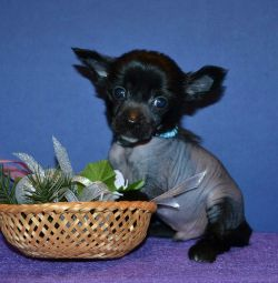 Puppies boys Chinese Crested Dogs