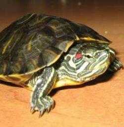 Akvaryum ile kırmızı kulaklı sucul kaplumbağa