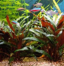 Аквариумное растение Криптокорина Костата