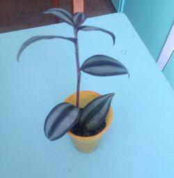 Tradescantia și begonia