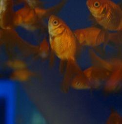 Acvariu Goldfish