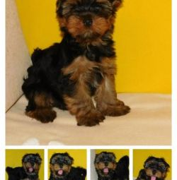 Mini and standard York puppies