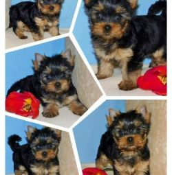 Club puppies of the Yorkshire Terrier