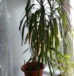 Yucca Palma