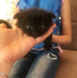 Fold kittens