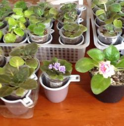 Violets varietal - many varieties