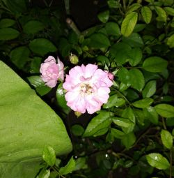 Țesând răsaduri de trandafiri