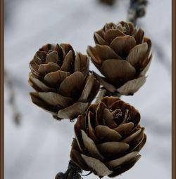 Lilac cones