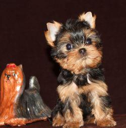 Yorkshire Terrier puppet girl