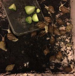 Σαλιγκάρια της Αχάτιν