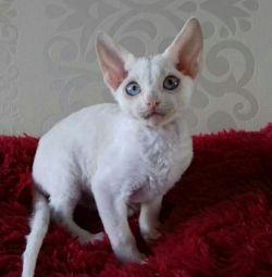 White cat meow