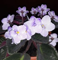 The plant is violet, hatiora. Rooted processes.