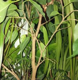 Ficus, κόκκινο, χρυσό μουστάκι