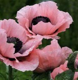 Διαμάντι μωσαϊκό ροζ παπαρούνες