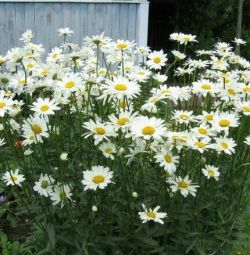 Perennial flowers for the garden