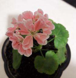 Pelargonium Natalie