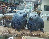 Baby Congo African Grey