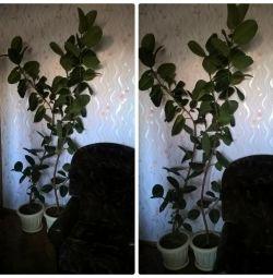 Δύο μεγάλα δέντρα του Ficus 2,3 μ