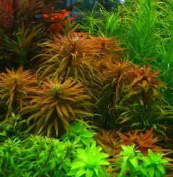Аквариумное растение Людвигия Инклината