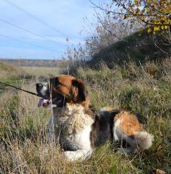 Moskova bekçi köpeği