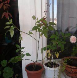 flori proaspete de interior - trandafir