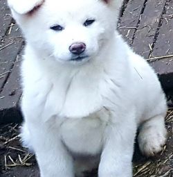 Akita inu puppies, happiness in the house