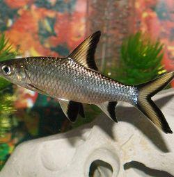 Balul rechinului de pește din acvariu