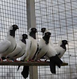Porumbei - călugări, pescăruși și păuni