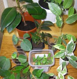 Ficus and more