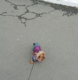 Viscous Yorkshire terrier mini. Puppies