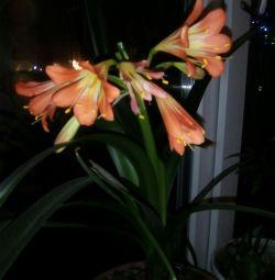 Clivia λουλούδι
