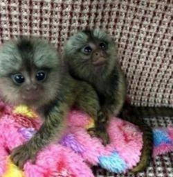 baby marmoset for 300€