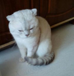 Вязка чистокровным котом