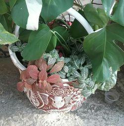 Φυτόνια