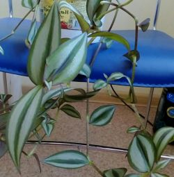 Tradescantia, that in the photo.