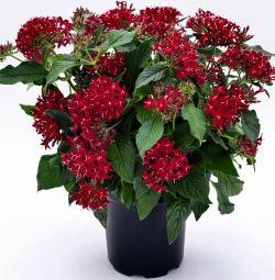 Pentas Kapalı Çiçek