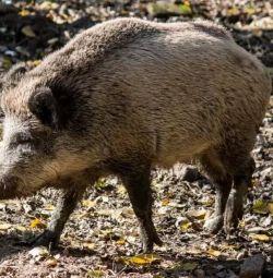 Yaban domuzu büyük kuş kafesi