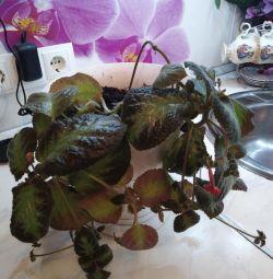 Επεξεργασία επεισοδίου από ενήλικα φυτά