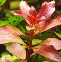 Aquarium plant Ludwig Natans bright red