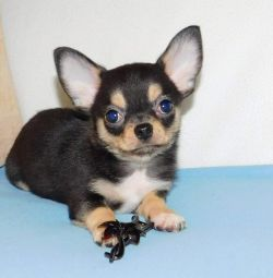 Chihuahua boy for lovely ladies