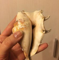 Shells naturale