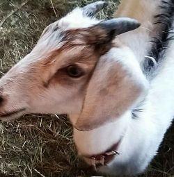 Süt keçileri