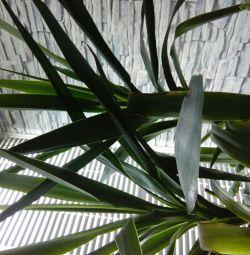 Palma Yukka.Torg